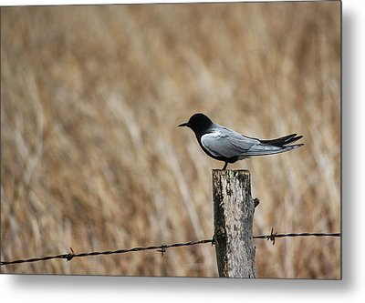 Metal Print featuring the photograph Black Tern by Ryan Crouse