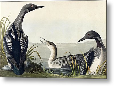 Black Throated Diver  Metal Print by John James Audubon