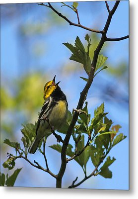 Black-throated Green Warbler Metal Print
