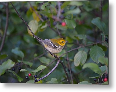 Metal Print featuring the photograph Black-throated Green Warbler by James Petersen