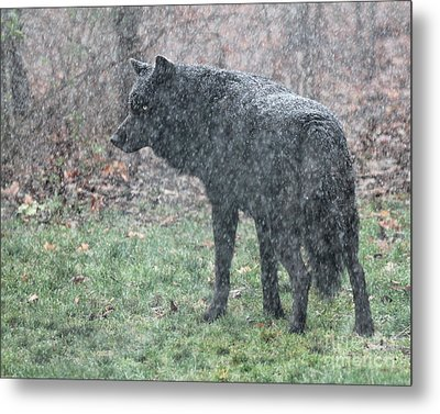 Black Wolf In Snowstorm Metal Print