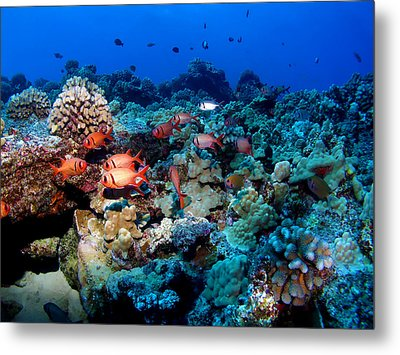 Blackbar Soldier Fish Under A Ledge Metal Print by Ocean Image Photography