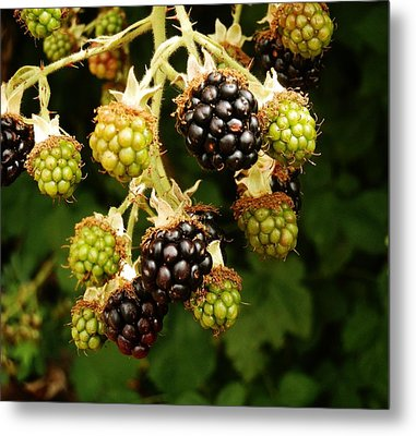 Blackberries Metal Print by VLee Watson