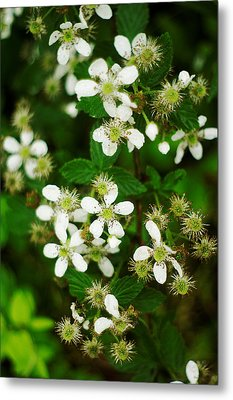 Metal Print featuring the photograph Blackberry Blossoms by Suzanne Powers