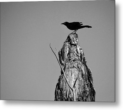 Metal Print featuring the photograph Blackbird by David Mckinney