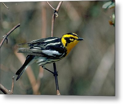 Blackburnian Warbler Metal Print by Doug Herr