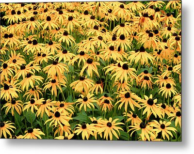 Metal Print featuring the photograph Blackeyed Susan by Geraldine Alexander