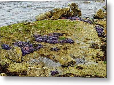 Metal Print featuring the photograph Blanket Of Seastars by Karen Molenaar Terrell