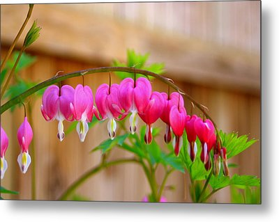 Graceful Arch Of Bleeding Heart Metal Print by Patti Whitten