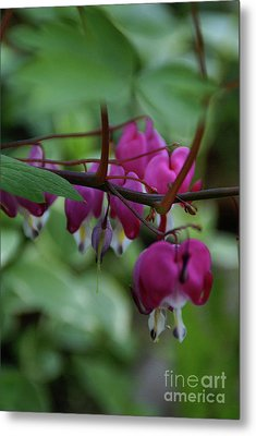 Metal Print featuring the photograph Bleeding Heart by Linda Shafer