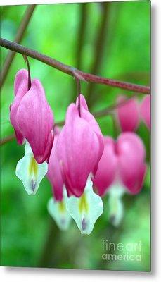 Bleeding Hearts Flowers Metal Print by Edward Fielding