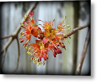 Metal Print featuring the photograph Blooming Buds by Kelly Nowak