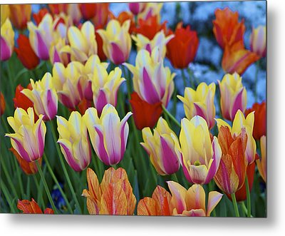 Metal Print featuring the photograph Blooming Tulips by John Babis