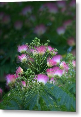 Blooms Of The Mimosa Tree Metal Print by Jeanette C Landstrom