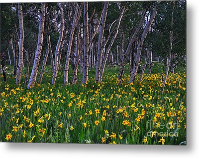 Bloooming Aspens Metal Print