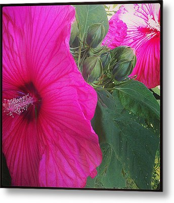 Blosssoms And Buds Hibiscus  Metal Print by Brittany Perez