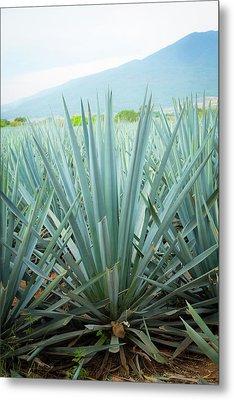 Blue Agave, Harvest, Tequila, Jalisco Metal Print