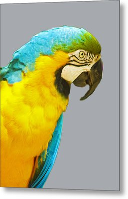 Blue And Gold Macaw Metal Print by Bill Barber
