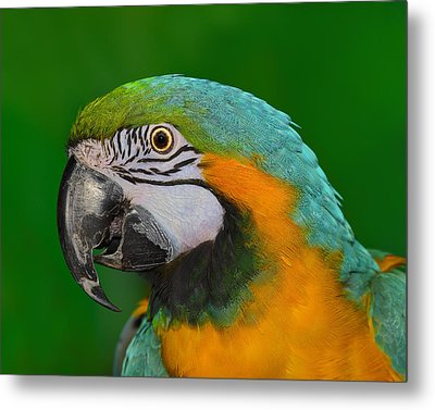 Blue And Gold Macaw Metal Print by Tony Beck