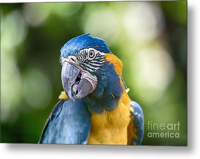 Blue And Gold Macaw V3 Metal Print by Douglas Barnard