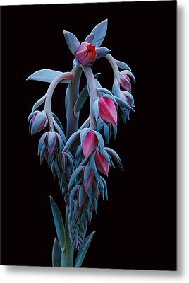 Blue And Pink Succulent Metal Print