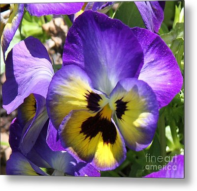 Blue And Yellow Pansies Metal Print by Cathy Lindsey