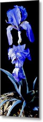 Blue Bearded Rhizomatous Irises Metal Print by Danielle  Parent