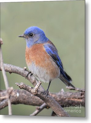 Metal Print featuring the photograph Blue Bird At Sedona by Debbie Hart