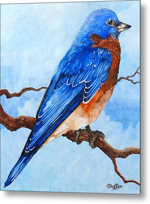 Blue Bird Metal Print by Curtiss Shaffer