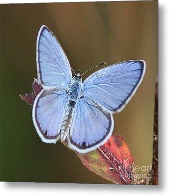 Blue Butterfly Square Metal Print by Carol Groenen