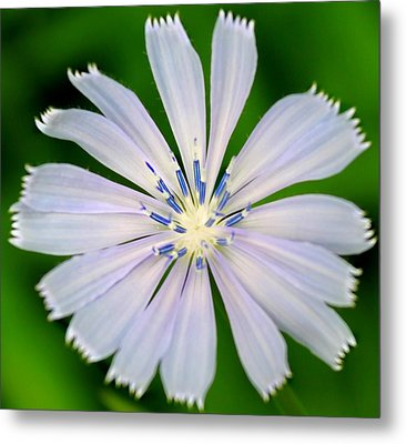 Blue Chicory Metal Print