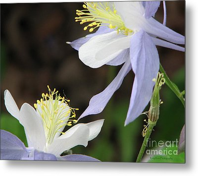Metal Print featuring the photograph Blue Columbine by Roxy Riou