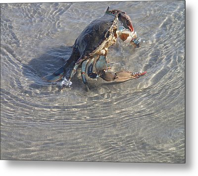 Metal Print featuring the photograph Blue Crab Chillin by Robert Nickologianis