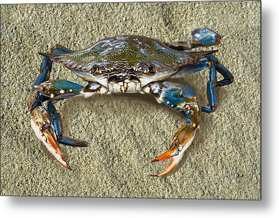 Blue Crab Confrontation Metal Print
