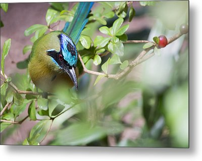 Metal Print featuring the photograph Blue-crowned Motmot by Rebecca Sherman