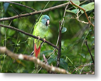 Blue Crowned Parakeet Metal Print by James Brunker