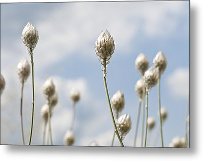 Metal Print featuring the photograph Blue Cupidone by Lana Enderle
