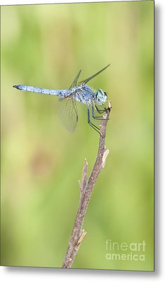 Metal Print featuring the photograph Blue Dasher by Bryan Keil