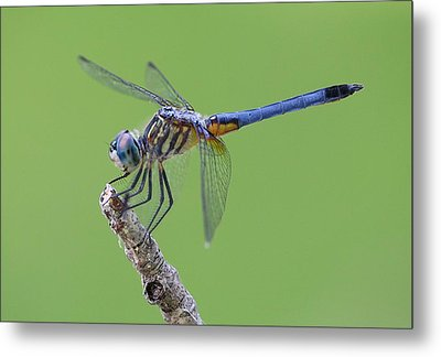 Blue Dasher Dragonfly Metal Print by Ester  Rogers