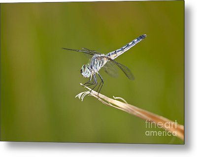 Metal Print featuring the photograph Blue Dasher On The Edge by Bryan Keil