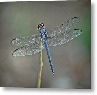 Metal Print featuring the photograph Blue Dragonfly II by Linda Brown