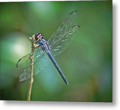 Metal Print featuring the photograph Blue Dragonfly by Linda Brown