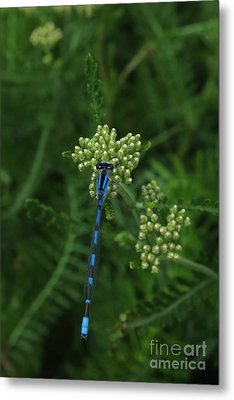 Metal Print featuring the photograph Blue Dragonfly by Marjorie Imbeau