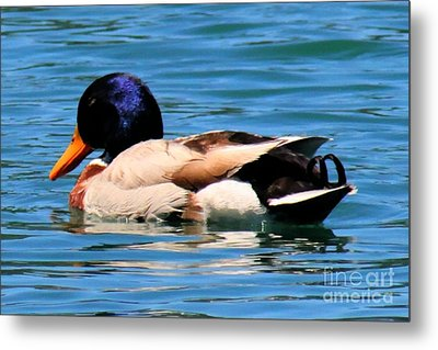 Blue Duck Metal Print by Tap On Photo