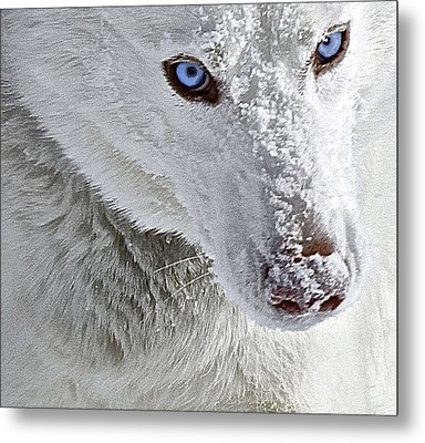 Blue Eyed Charger Metal Print by May Finch