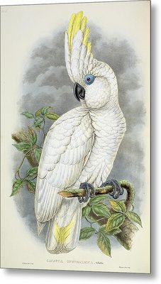 Blue-eyed Cockatoo Metal Print by William Hart