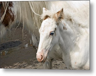 Blue Eyed Foal Metal Print by Liz  Alderdice