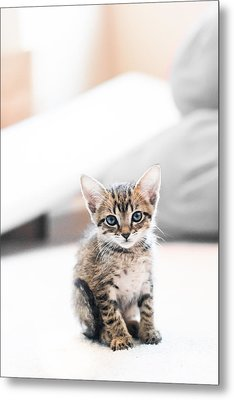 Blue Eyed Kitten Metal Print by Shelby  Young