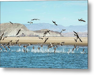 Blue-footed Boobies Feeding Metal Print by Christopher Swann