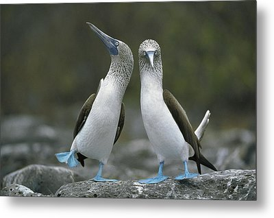 Blue Footed Booby Dancing Metal Print by Tui De Roy